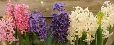 hyacinths1