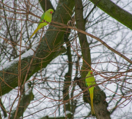 parrots-brussels-winter