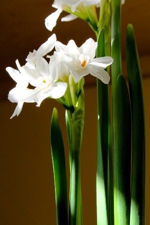 andy-paperwhites5a