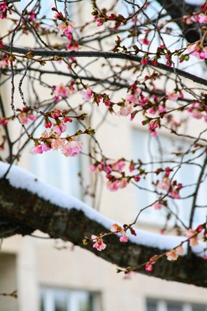 cherry-blossoms-snow1