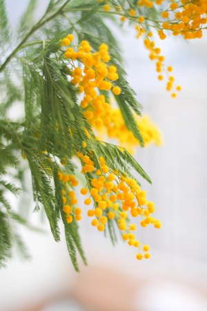 mimosa-march