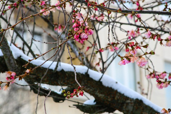 cherry-blossoms-snow2