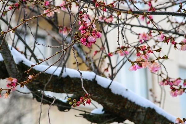 cherry-blossoms-snow2