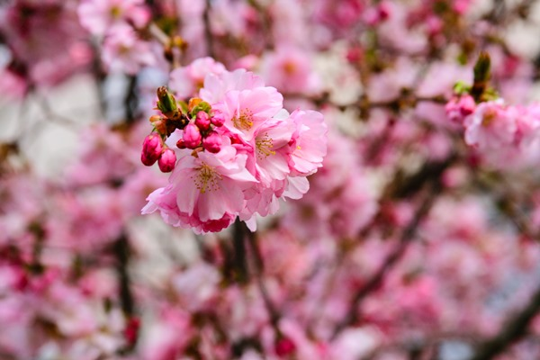 cherry-blossoms1
