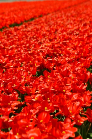 tulip-red2