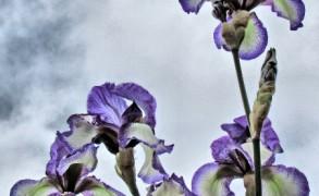 iris-grey