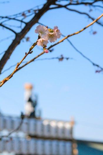 cherry blossoms-350