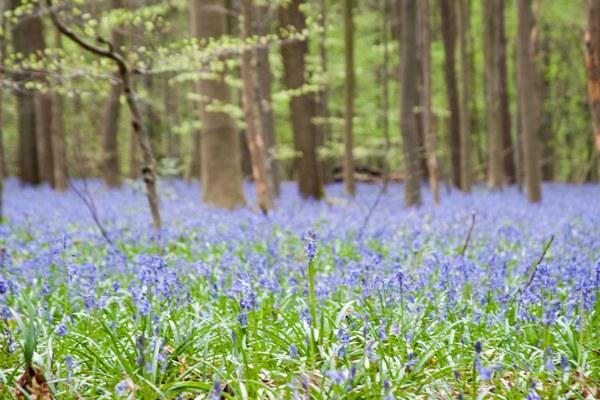 hallerbos bluebells2