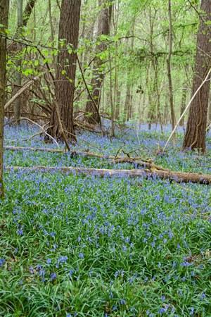 hallerbos bluebells7