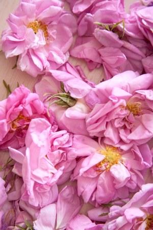 rosa centifolia1