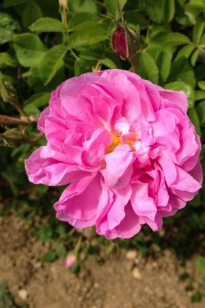 rosa centifolia2