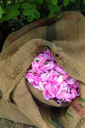 roses de grasse1_1sm