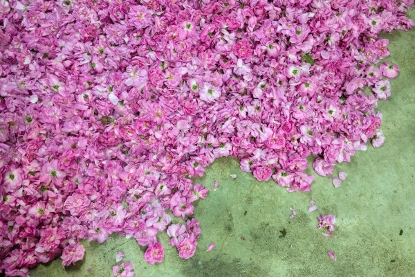roses-grasse10