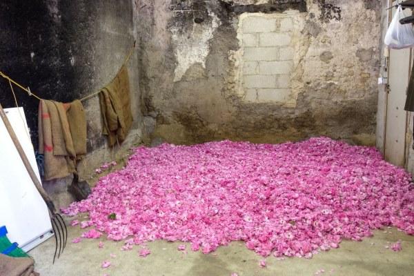 roses-grasse11