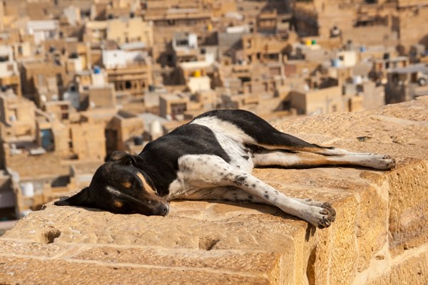 dog-jaisalmer
