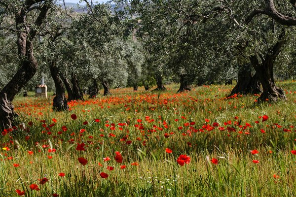 poppies olives