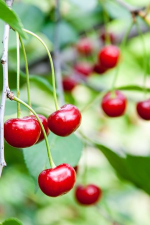 cherries-poltava