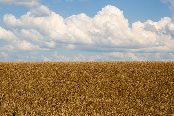 wheat field gogoleve