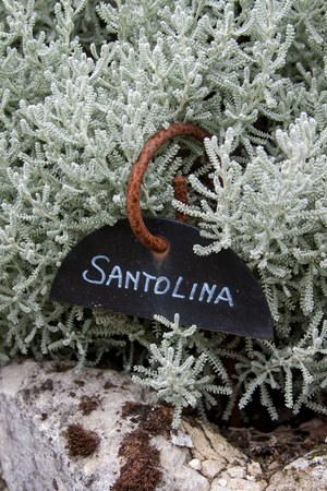 santolina
