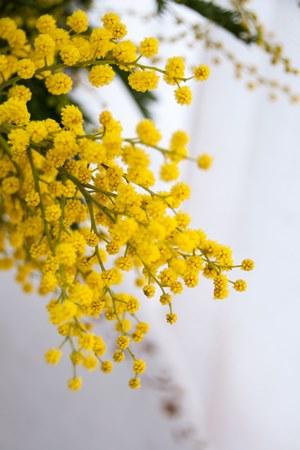 mimosa-branch