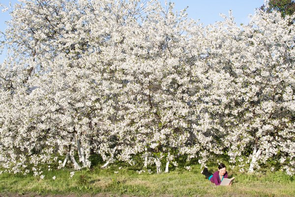 cherry-orchard1