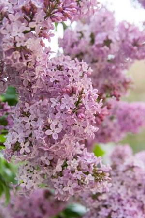lilacs-pale