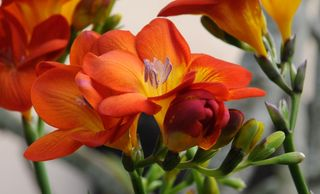 Freesia cropped
