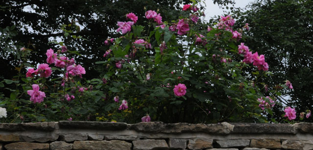 Scented Garden : Fragrant Antique Roses. Roses And Rock Wall