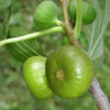 green_figs