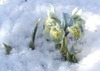 iris_in_the_snow