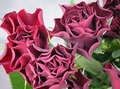 Rose_purple_1