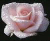 rosedew1